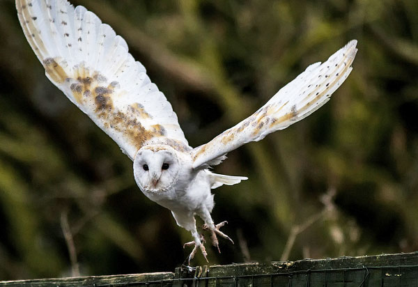 Thorpperrow barnowl