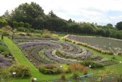 Yorkshire Lavender, York